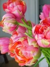 Pink Tulip Peonies
