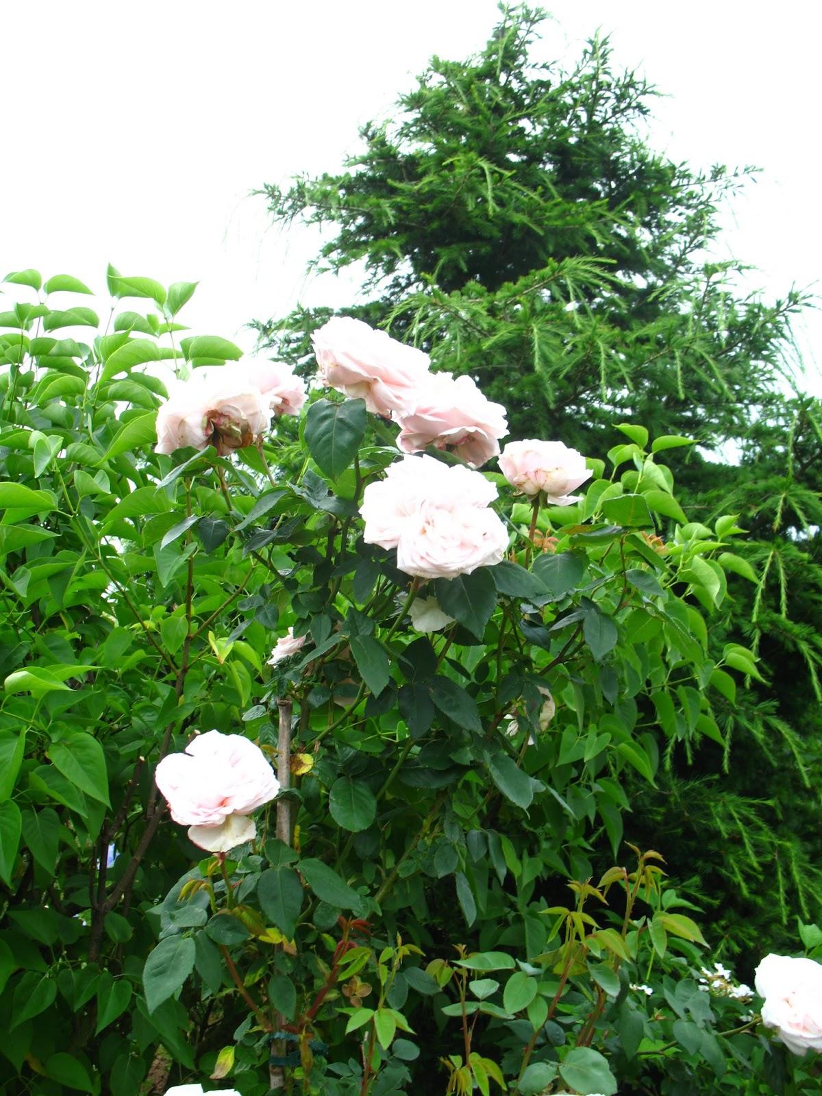 Roses du jardin ch neland trois rosiers en beaut for Alexandre jardin mes trois zebres