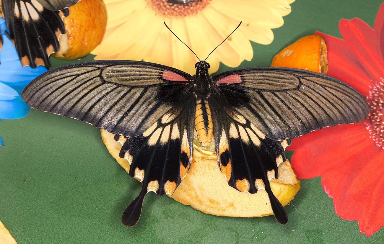 Great Mormon, Papilio memnon, female.  Wisley Gardens, Butterflies in the Glasshouse, 10 February 2015.