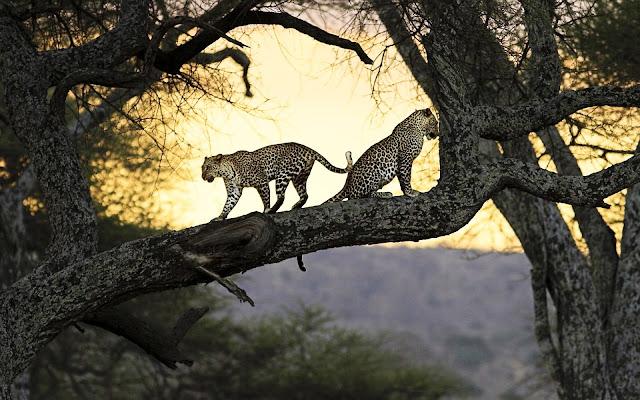 "<img src=""http://4.bp.blogspot.com/-Tj3ycxrJ-AU/Udvq6xS7umI/AAAAAAAAACE/ryqLukTFRCg/s1600/leopards-wide.jpg"" alt=""animal wallpapers"" />"