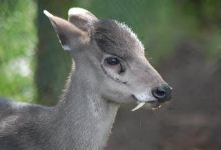 Tufted Deer - Hewan Aneh