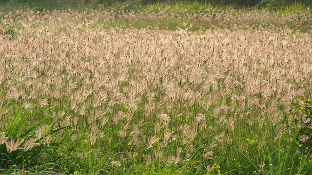 Đồng hoa cỏ may