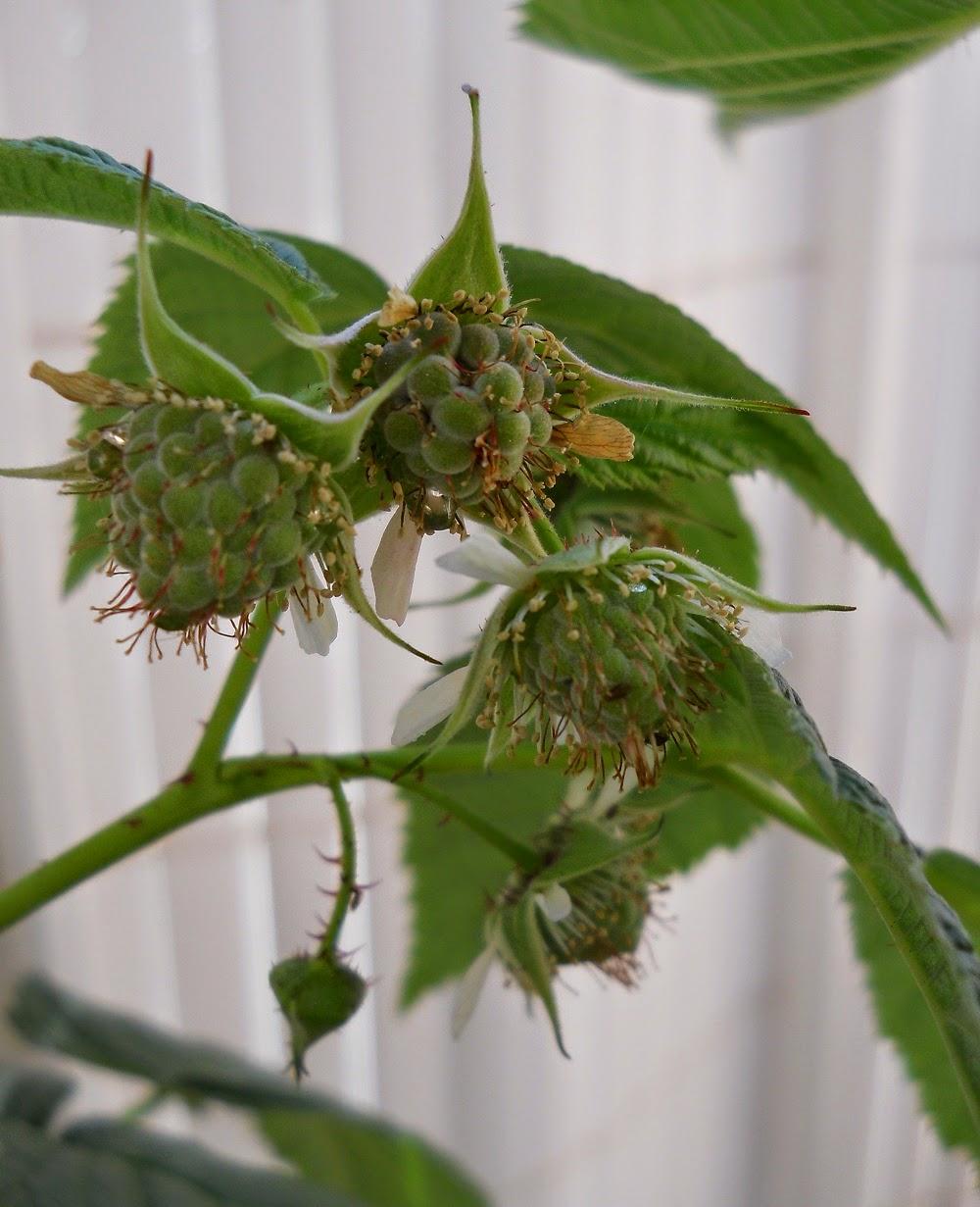 fruto en polidrupa
