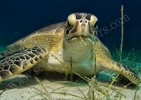 cyprus turtle in protaras