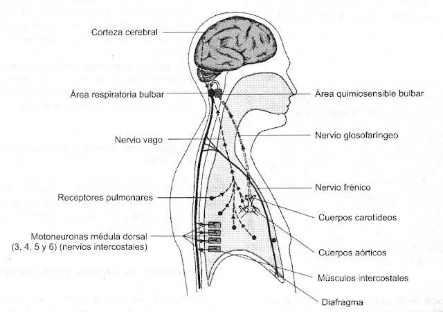 Sistema Respiratorio   Sistemas del Cuerpo Humano
