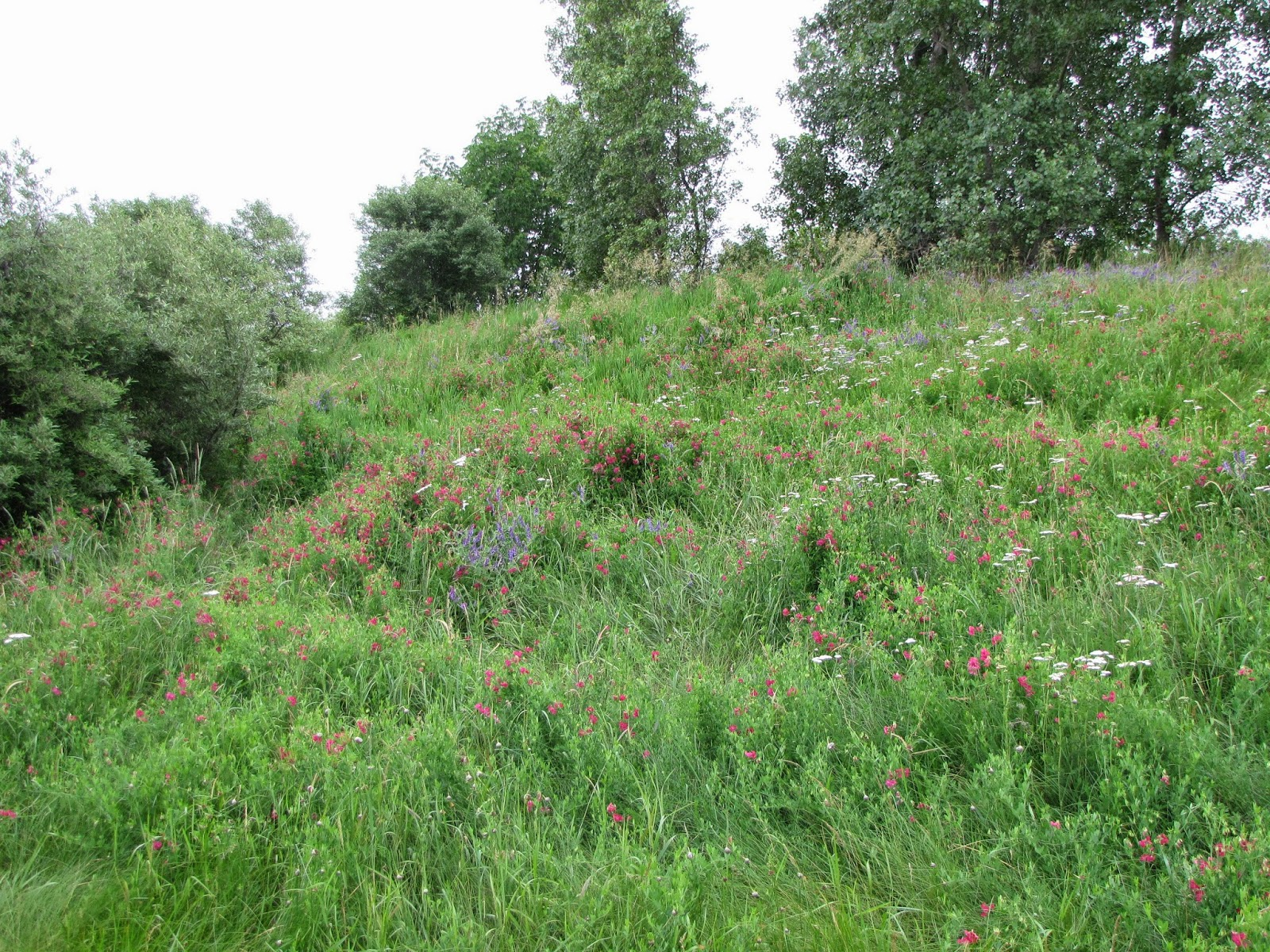 hillside with sweet pea, vetch and yarrow
