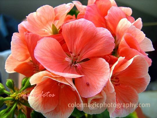Pink geranium close-up