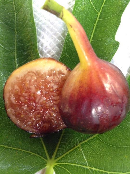 QUEUE LONGUE Figs