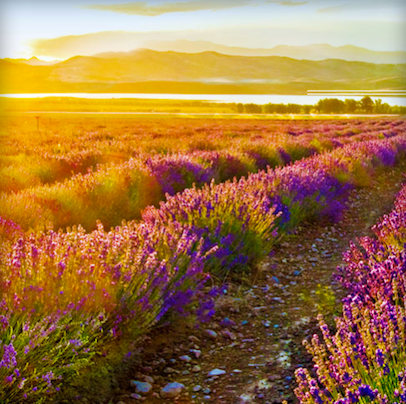 Lavender- Gorgeous and Useful!
