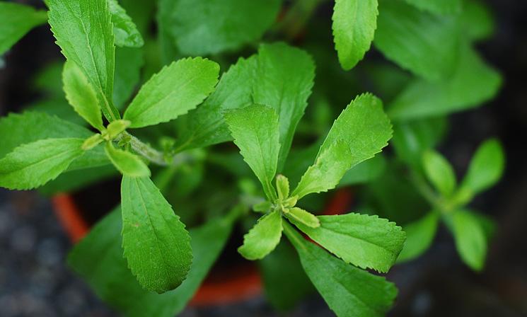 Sockerplanta