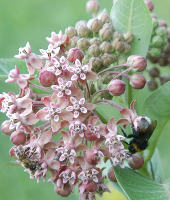 пчела и шмель на цветке ваточника