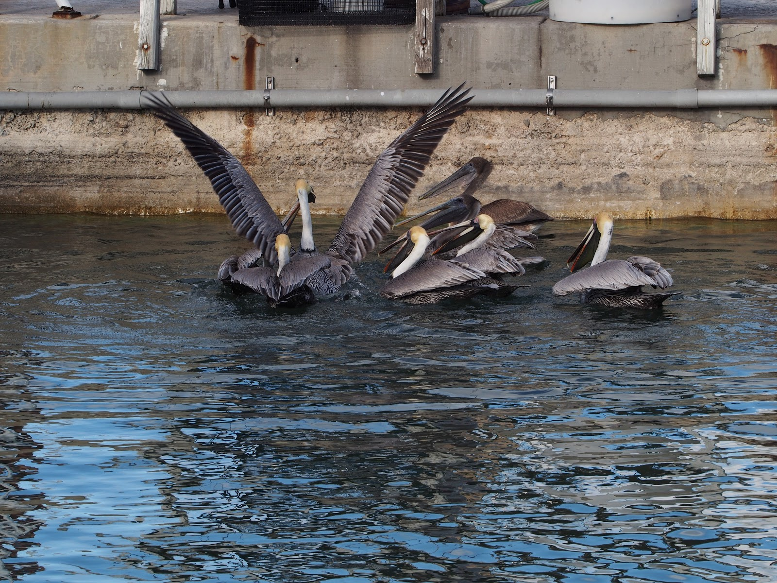 Beginning of a Pelican Scrum, #pelican #pelicans #keywest #florida 2014