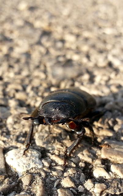 Lucanus cervus samica rogača spredaj