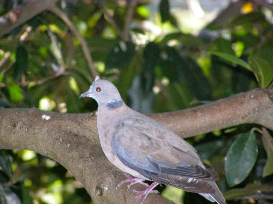 Sunda collared dove