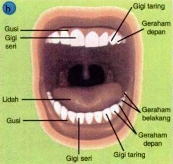 Gigi Manusia dan Fungsi Gigi
