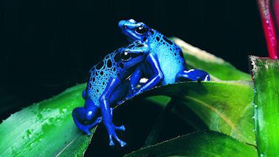 Ranas azules venenosas en las selvas de Vietnam