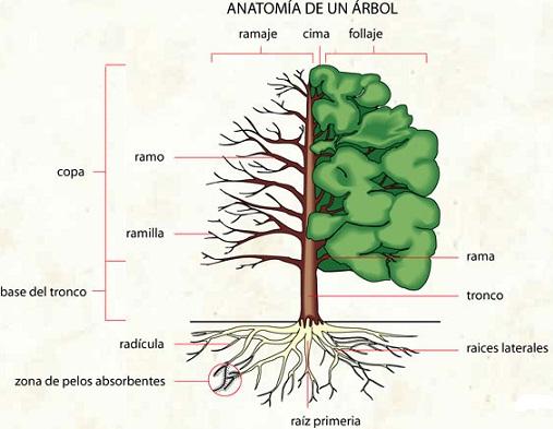 DIBUJO DE UN ARBOL Y SUS PARTES - Imagui