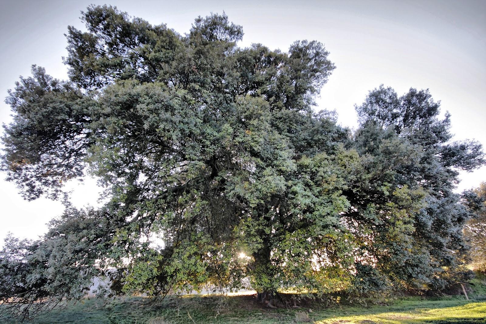 ... la guía de Monumentos Naturales de Navarra. El Encino de Cábrega