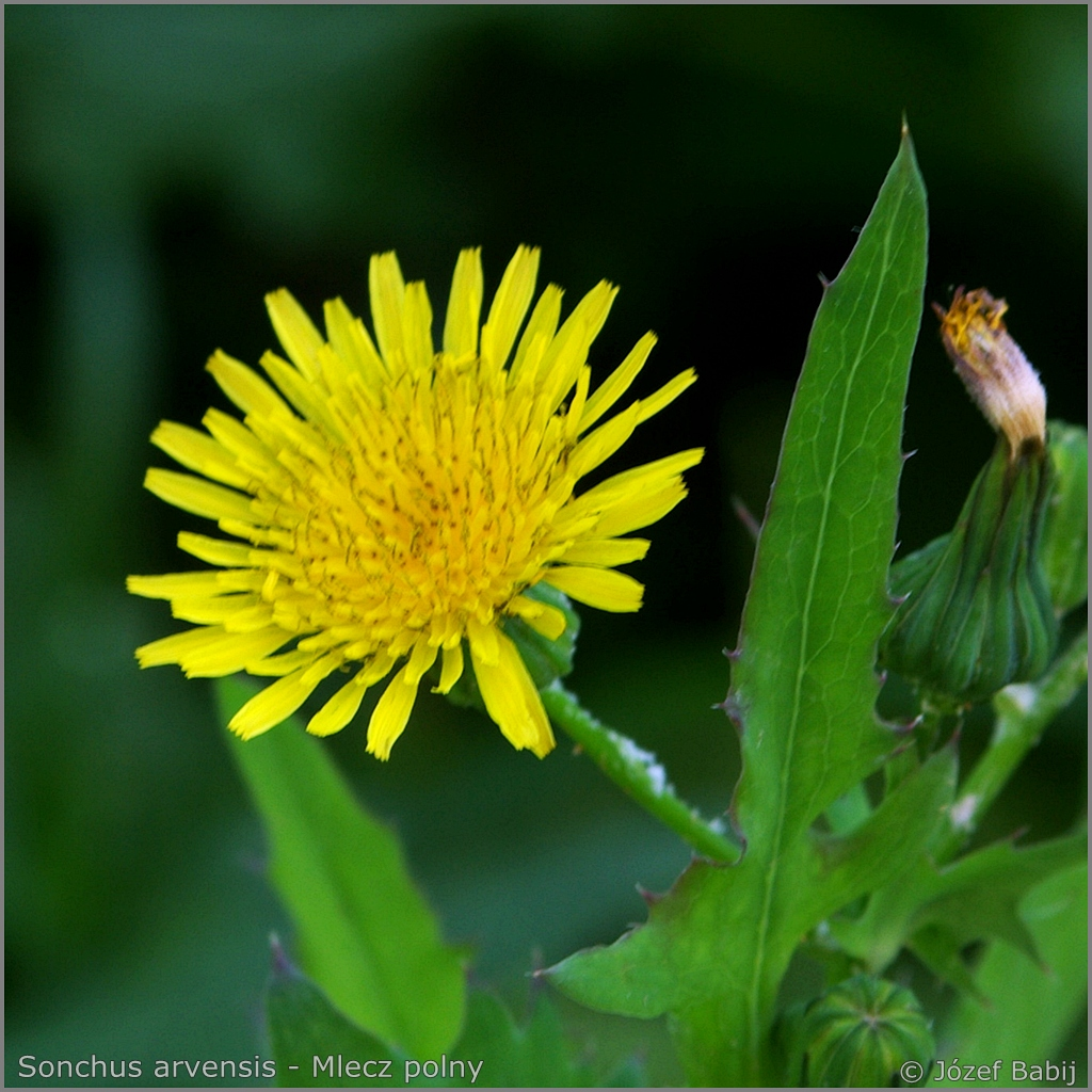 Sonchus arvensis flower  - Mlecz polny kwiat