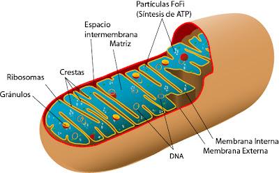 http://4.bp.blogspot.com/-TmCuBkY33xY/UFRkoMM2RsI/AAAAAAAAFyg/1DctxGJZY2I/s1600/Mitocondria+Esquema.jpg