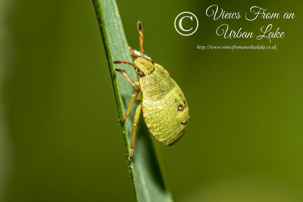 Shieldbug Instar (Hawthorn or Common Green) - Great Holm, Milton Keynes