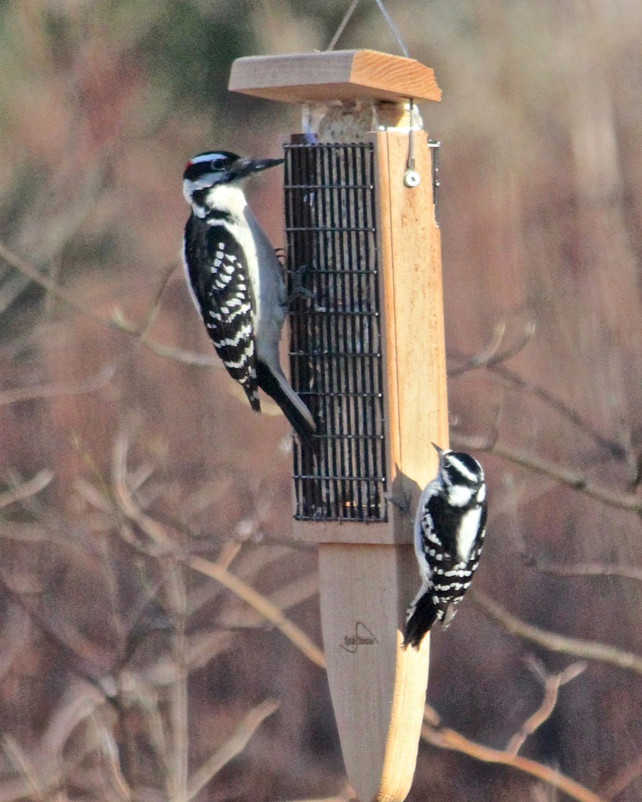 How to Tell the Difference Between Downy and Hairy Woodpeckers