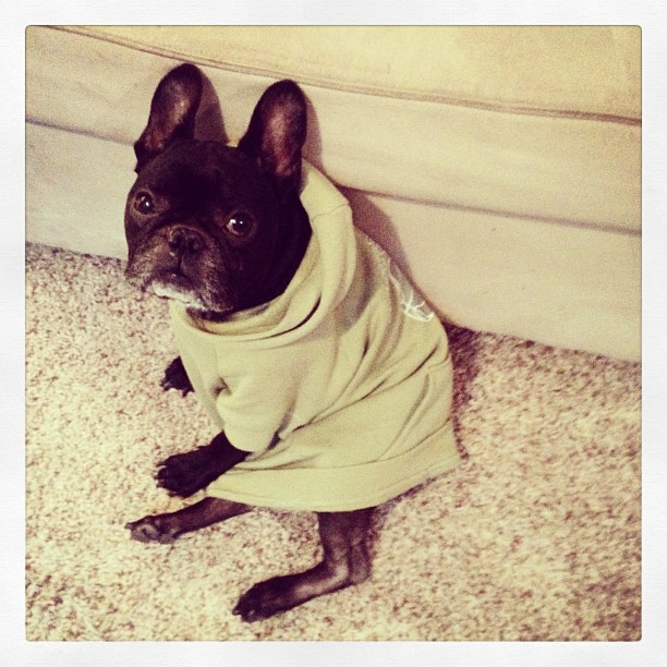 dog in long sweatshirt