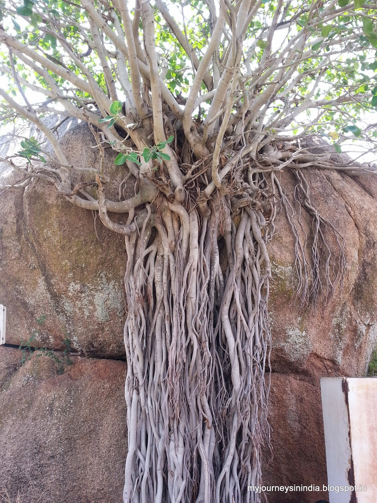 Trees growing on rocks - Chitradurga