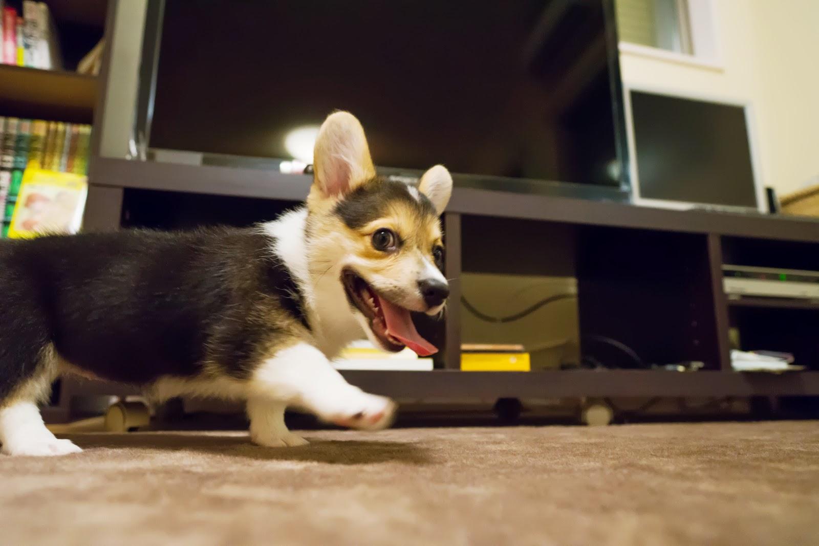子犬のコーギーの写真