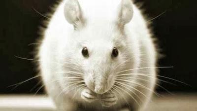 rato-branco