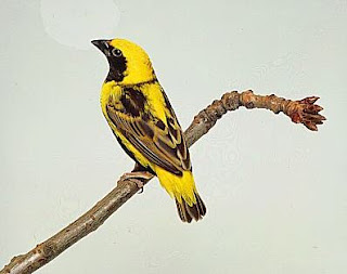 Napoleon Weaver Bird Pictures