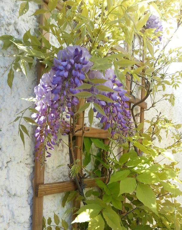 Mis nuevas flores guia de jardin - Glicinia en maceta ...