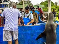 Singa Laut Ini Akan Menunggu Satu Jam Sampai Diberi Ikan