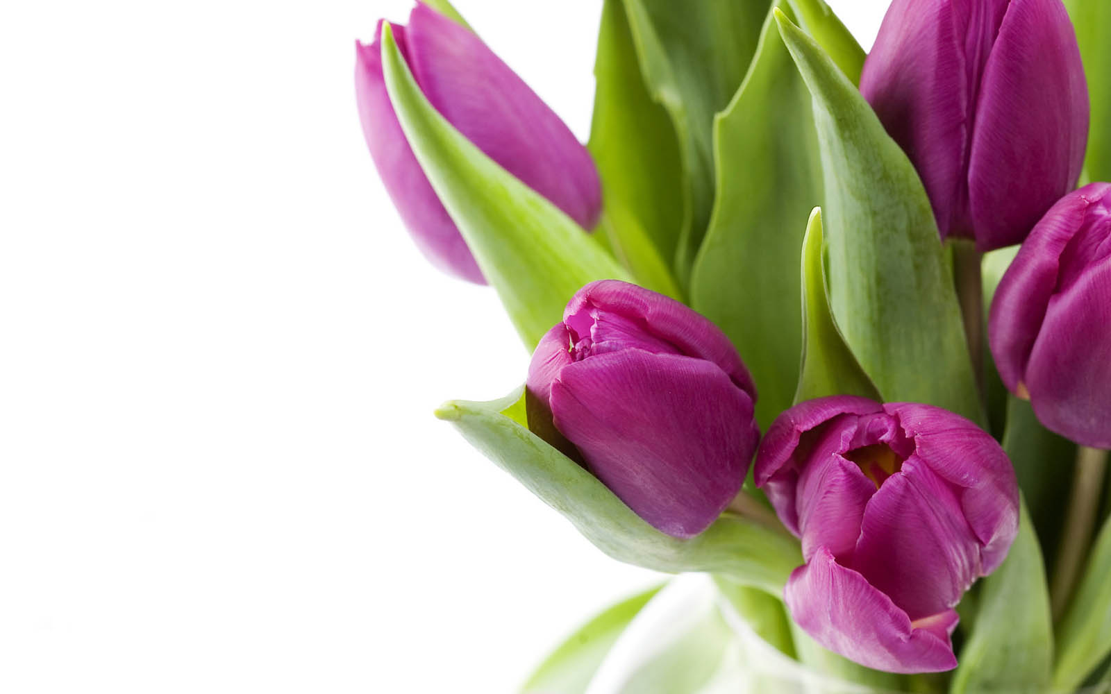 wallpapers Purple Tulips Flowers Wallpapers