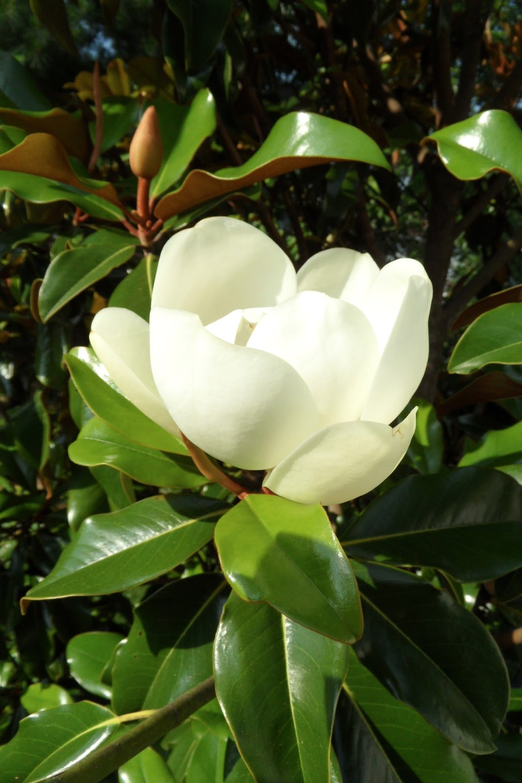 Magnolia grandiflora 39 bracken 39 s brown beauty 39 bev 39 s playtime - Magnolia grandiflora ...