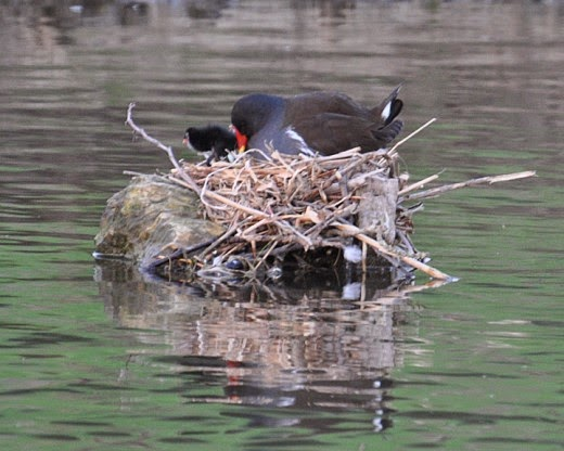 adult moorhen with chicks in nest