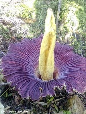 Amorphophallus Titanum (Bunga Bangkai)