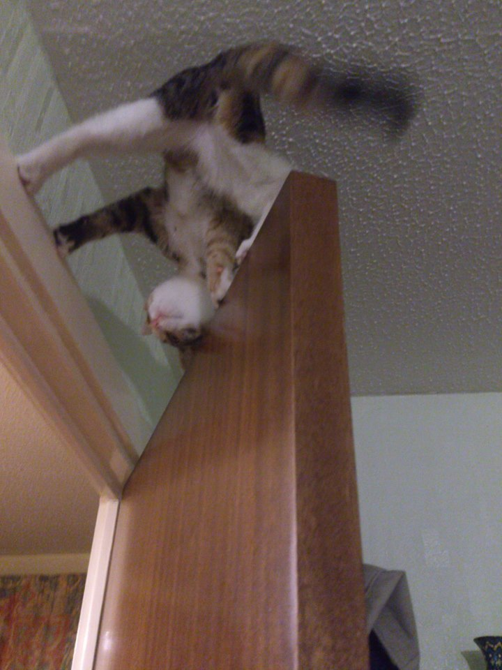funny cat pictures, cat on top of door