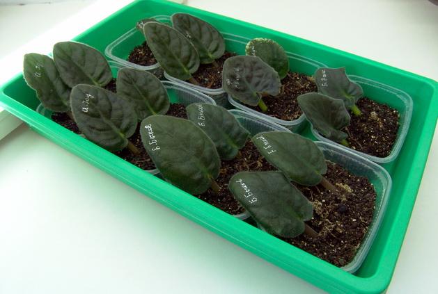 Выращивание сенполии из семян в домашних условиях 54