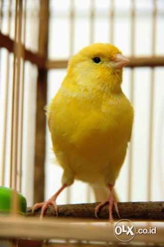 Foto Gambar Burung Kenari Af Gacor Abis