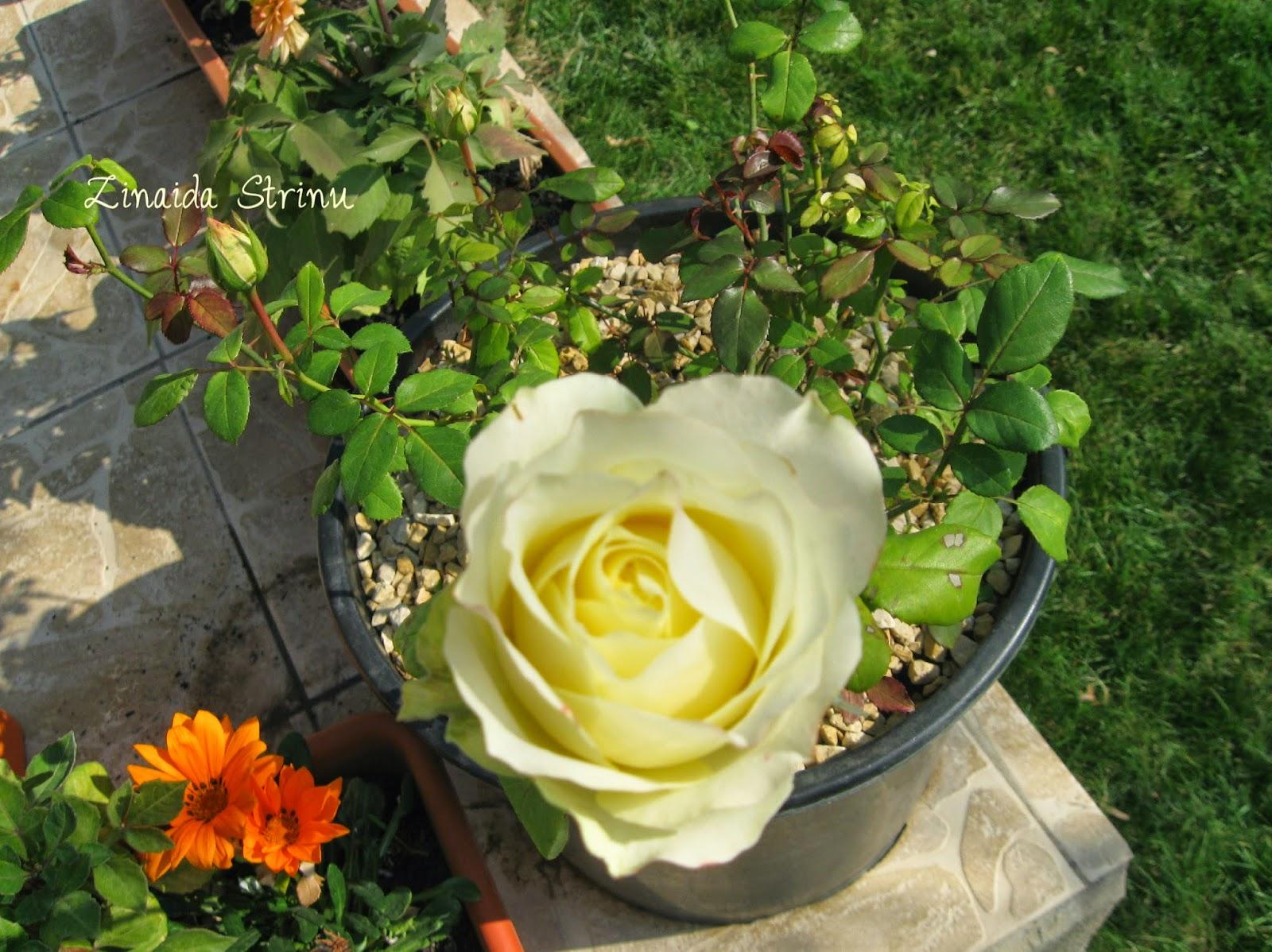 trandafiri-in-gradina-pe-20-octombrie-3