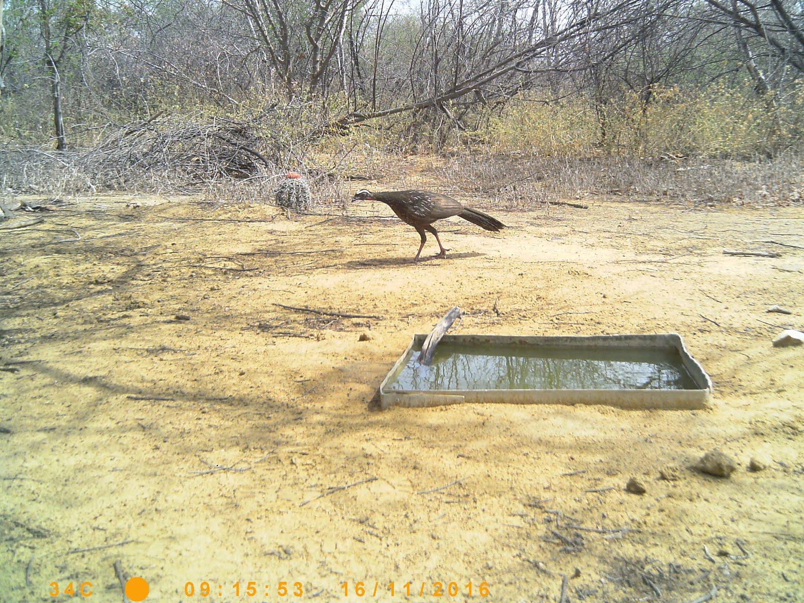 Um jacu chegando para beber água