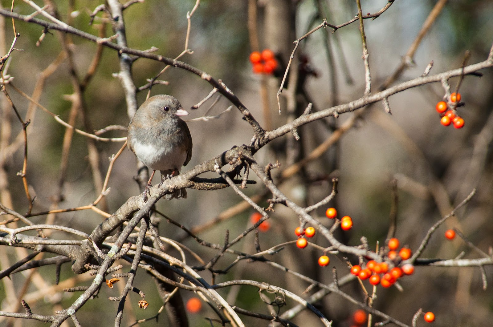 Bushtit, The Heard