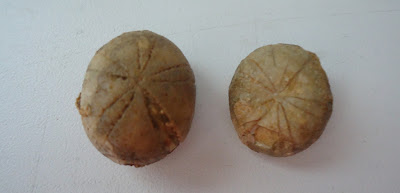 TWO FOSSILS SEA URCHIN / ECHINOID