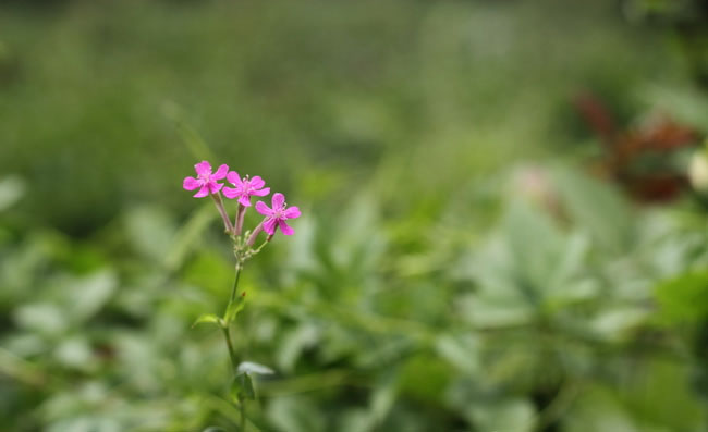 Sweet William Catchfly Flowers