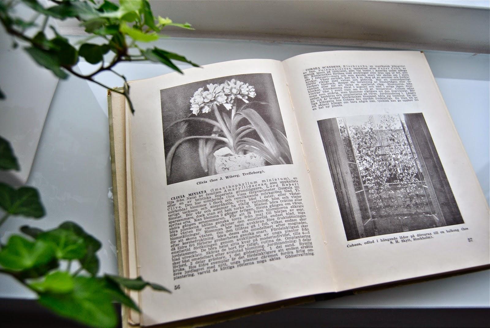 Beskrivning Clivia gammal bok