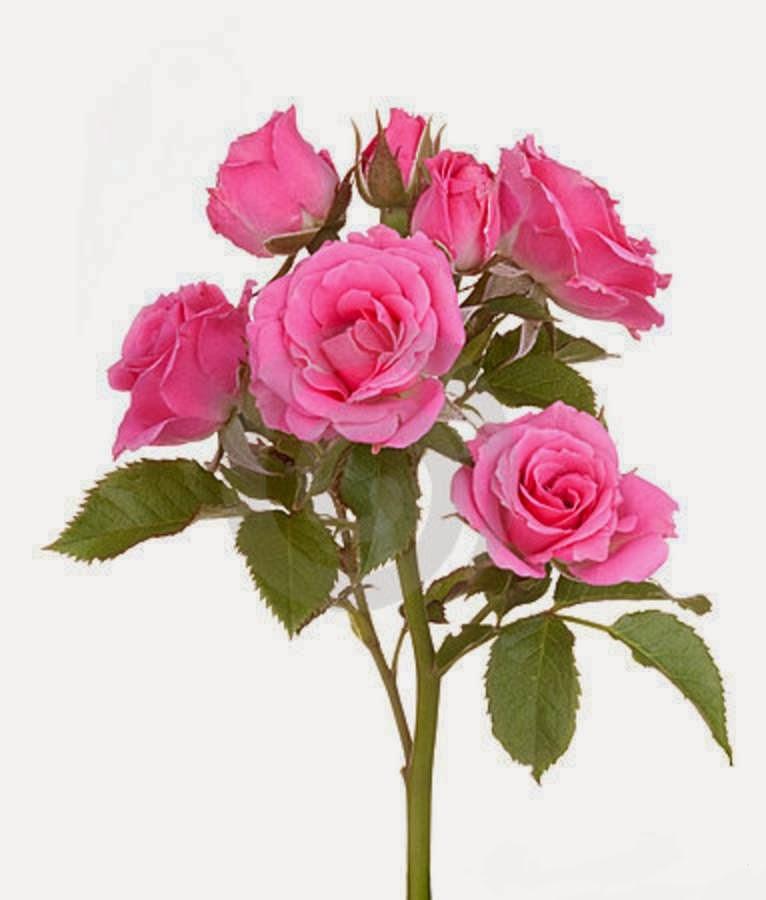 pink rose 2014httpmy143roseblogspotcom