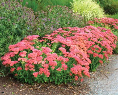 Garden dream fabulous fall color perennials for Dream plants for the natural garden