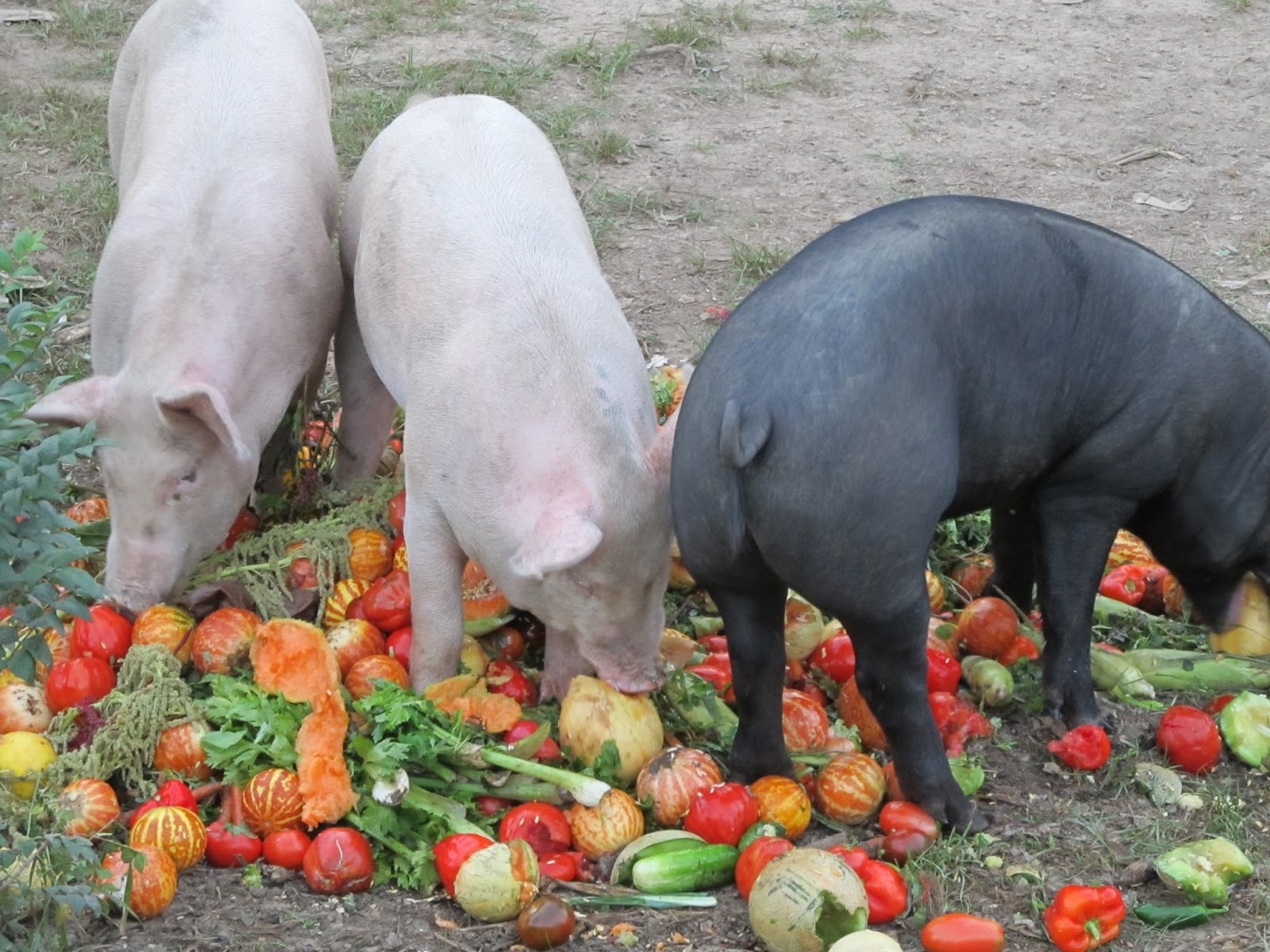 feeding pig Discover the essential tips on what to feed a pig and avoid the costly and deadly mistakes that pig owners are prone to.