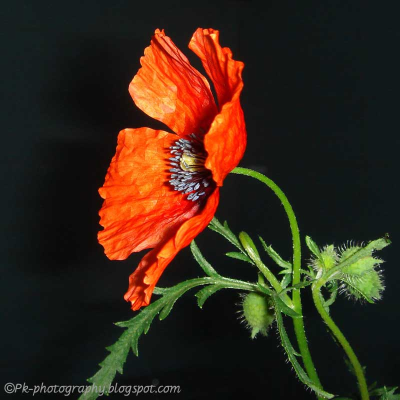 wild poppy flowers on - photo #3